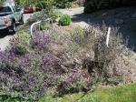 """bed"" of lavender"